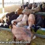 خوراک علوفه برای گوسفند