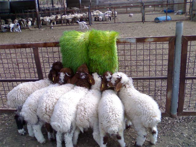 تعلیف گوسفندان از علوفه هیدروپونیک